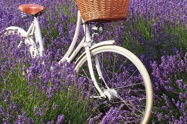 Pashley hybrid bike in Lavender field